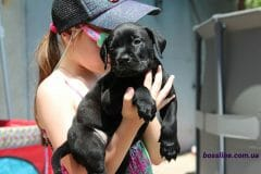 black_boy_boerboel6