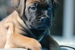 red_girl1_boerboel4