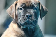 red_girl1_boerboel5