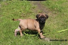 red_girl1_boerboel2