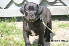 black_girl4_boerboel1
