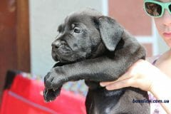 black_boy_boerboel1