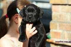 black_boy_boerboel3