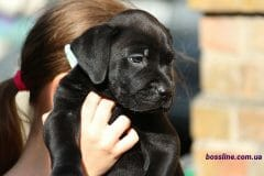 black_boy_boerboel5