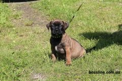 red_girl1_boerboel1