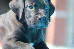 black_girl4_boerboel5