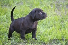 black_girl3_boerboel5