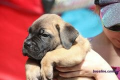 red_boy_boerboel4